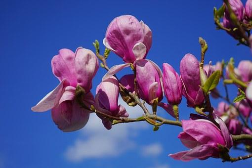 magnolia-324299__340.jpg