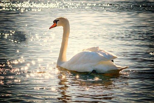 swan-2077219__340.jpg