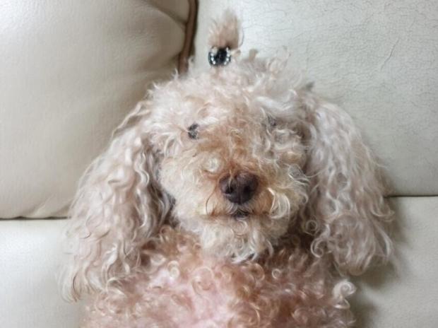 강아지 셀프미용 ㅈ됐다 힝