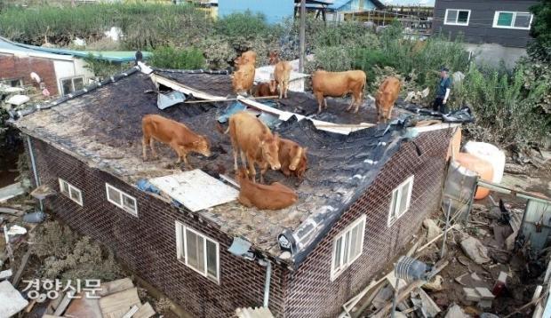 홍수로 떠내려간 소떼 근황