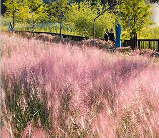 대전명소 한밭수목원 가을풍경, 꽃무릇과 핑크뮬리