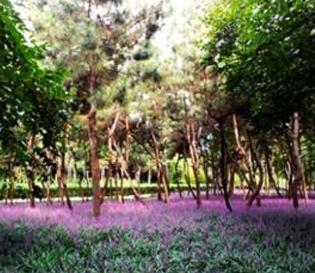 울산가볼만한곳 : 태화강 보라빛 맥문동 군락지